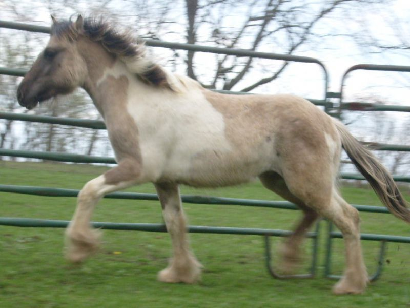Majestic's gypsy cob colt out of my UNFEATHERED mare! Duncan is SOLD and lives in Virginia