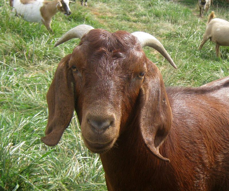 Treasure - Boer Goat Fullblood Doe