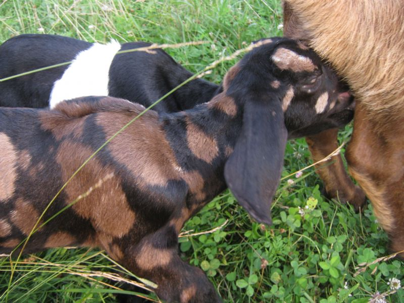 Chocolate Diamond - Boer Goat Fullblood Buck