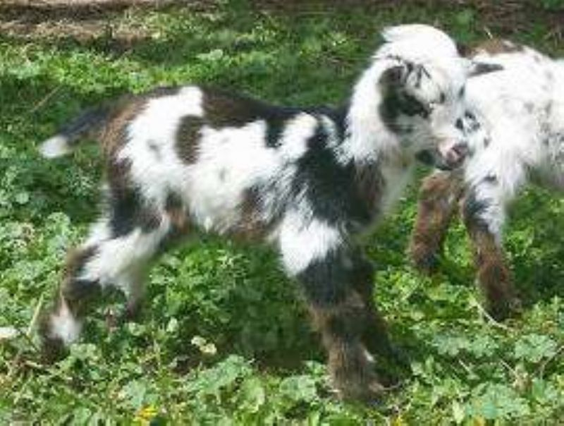 Willow - Nigerian Dwarf Goat Doe