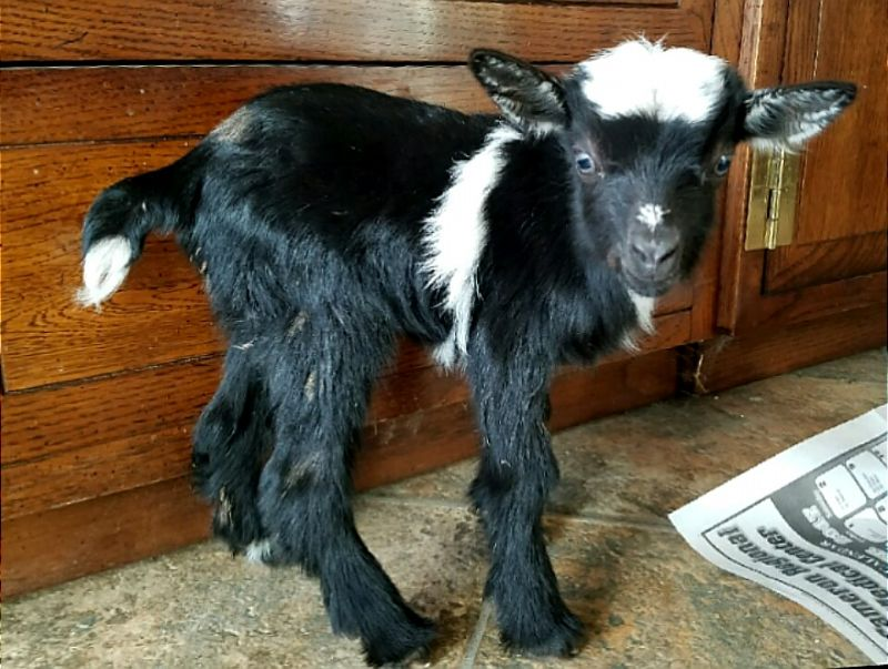 Jade's moon spotted brown eyed buckling - Nigerian Dwarf Goat Buck