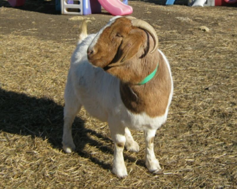Wonder - Boer Goat Fullblood Doe