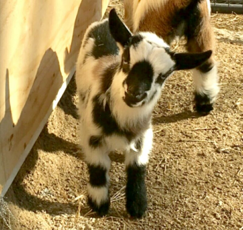 Moonlight - Nigerian Dwarf Goat Doe