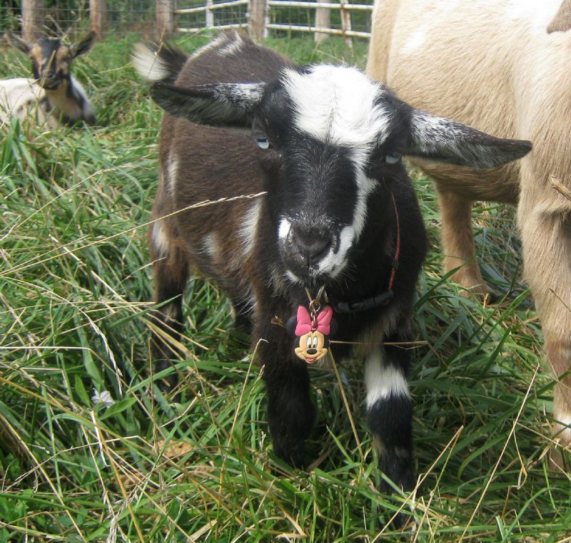 Minnie Mouse - Nigerian Dwarf Goat Doe