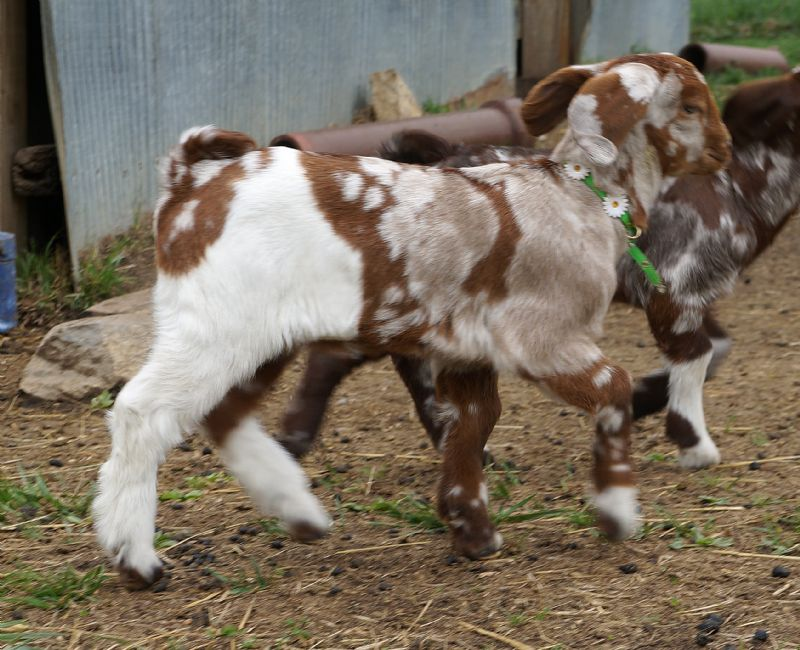 Grace - Boer Goat Fullblood Doe
