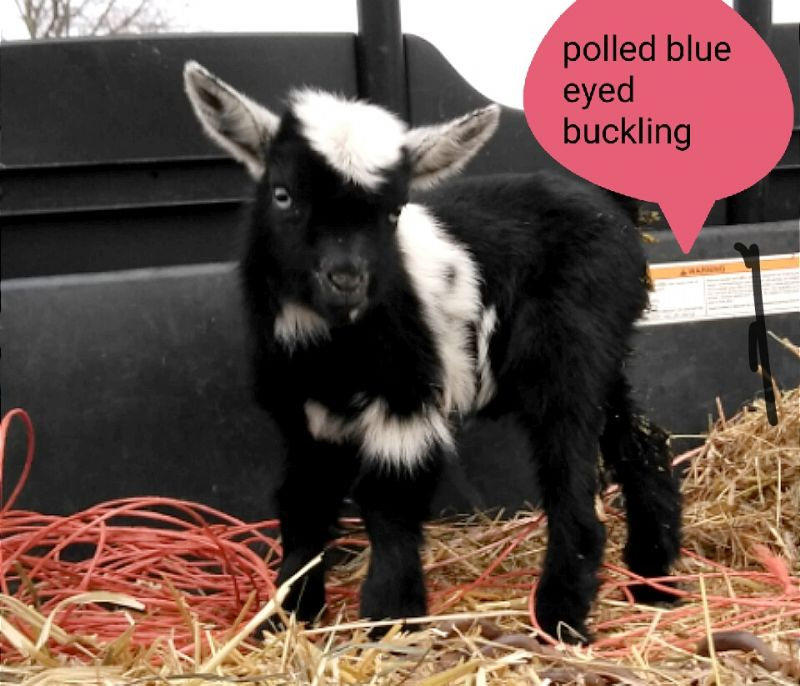 polled blue eyed buck kid - Nigerian Dwarf Goat Buck