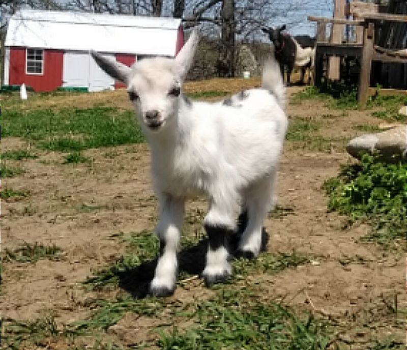 white with black spots,  naturally polled - Nigerian Dwarf Goat Buck