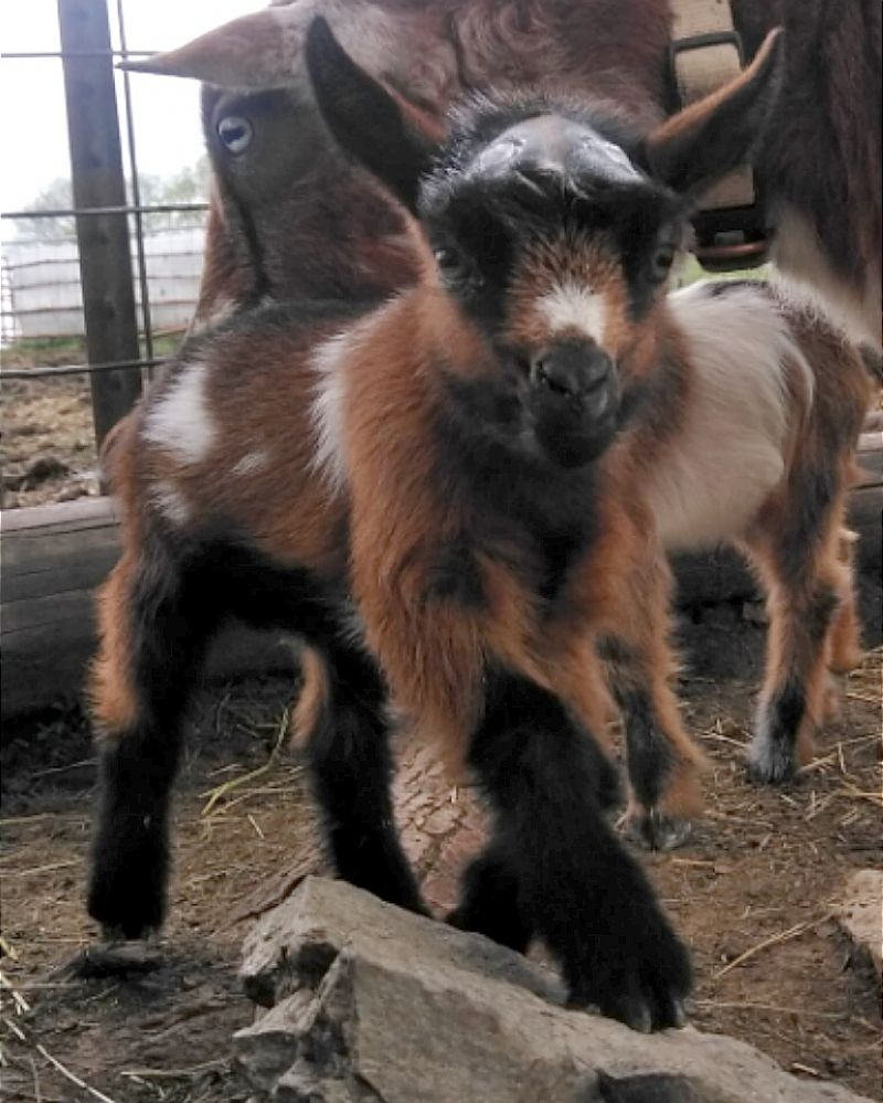 mahogany chamoisee with white markings, and  black boots - Nigerian Dwarf Goat Buck