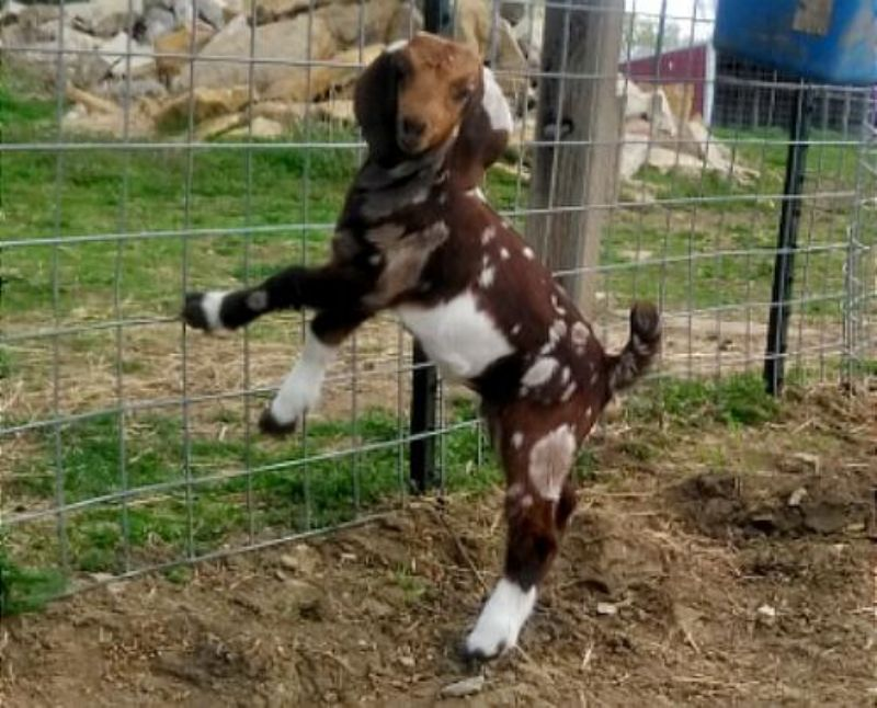 Sparkle - Boer Goat Fullblood Doe