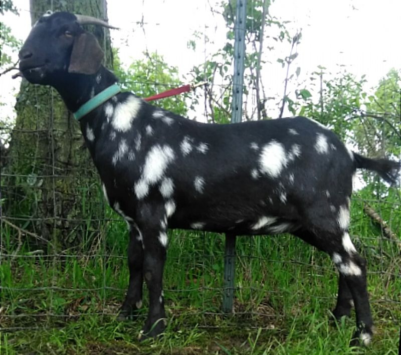 Starlight - Boer Goat Fullblood Doe