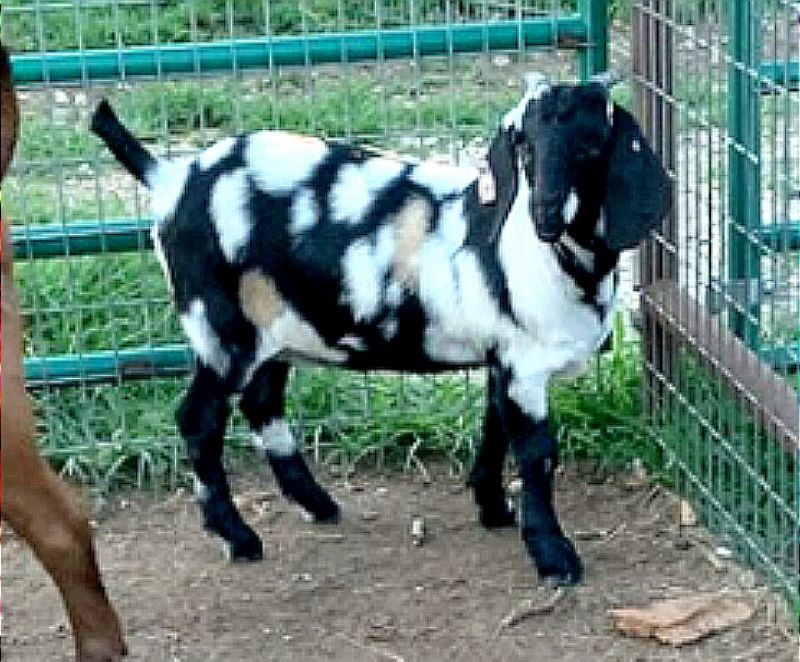 Decadence - Boer Goat Fullblood Doe
