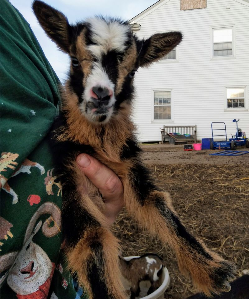 Amiah kid#1 - Nigerian Dwarf Goat Doe