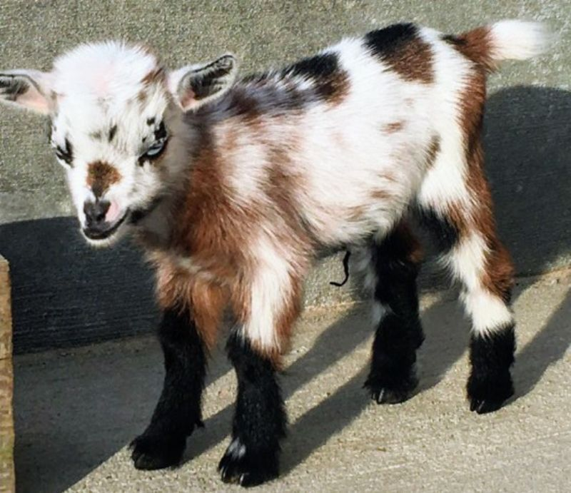 India - Nigerian Dwarf Goat Doe