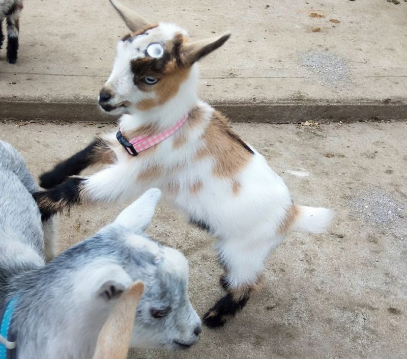 Apple Strudel - Nigerian Dwarf Goat Doe