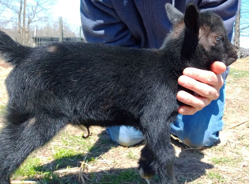 Black blue eyed polled moonspotted buck kid - Nigerian Dwarf Goat Buck