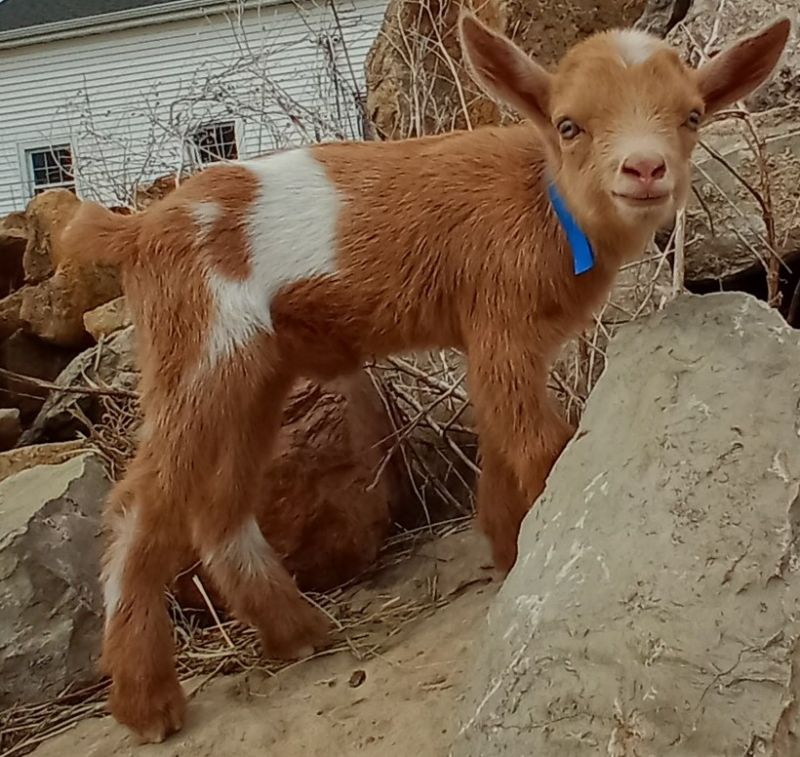 Very unusual rust red and white buckling - Nigerian Dwarf Goat Buck